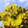sintjanskruid_bloemen