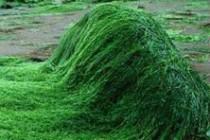 Spirulina-Alg